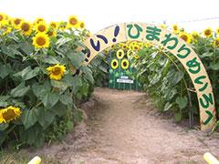 小川農場・ひまわり迷路